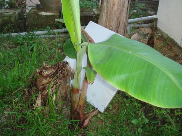 anak pokok pisang kembar