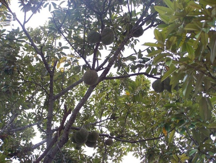 Pokok durian... gambar hiasan